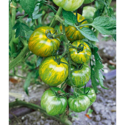 Green Zebra Heirloom Tomato