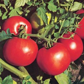 Jet Star F1 Hybrid Tomato Seeds