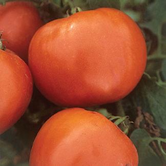 Booty F1 Hybrid Determinate Tomato