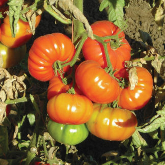 Grandma's Little Girl F1 Hybrid Heritage Type Tomato