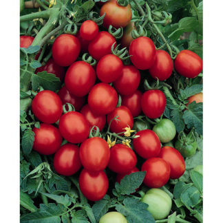 Sugar Plum F1 Hybrid Grape Tomato
