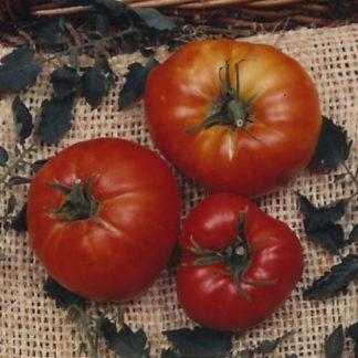 Marglobe Tomato Seed