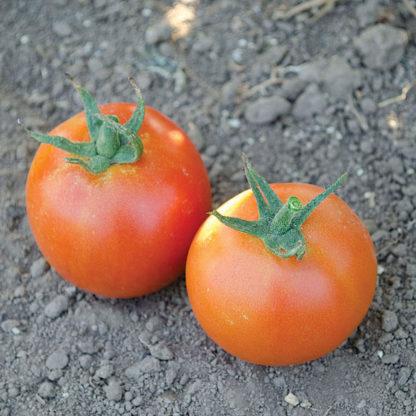 Pamella F1 Hybrid Tomato