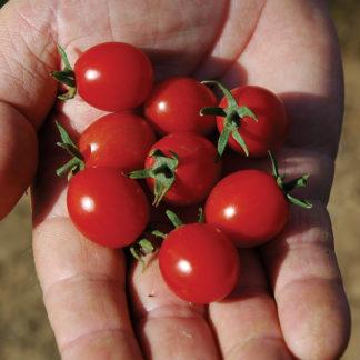 Mini Charm F1 Hybrid Tomato