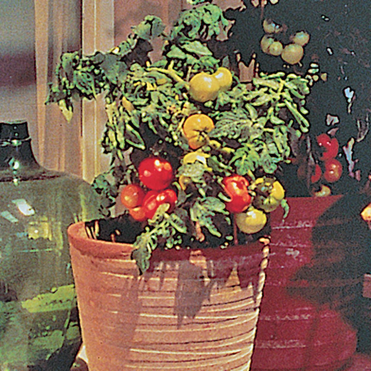 Patio F1 Hybrid Tomato Seeds