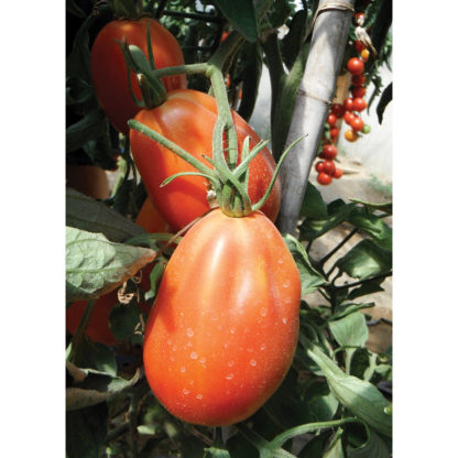 Red Anjou F1 Hybrid Pear-shaped Tomato