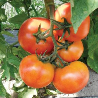 Red Boar F1 Hybrid Tomato