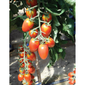 Red Scorpion F1 Hybrid Plum Tomato