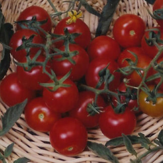 Red Cherry - Large Heirloom Tomato