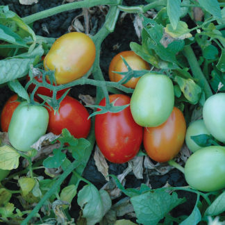 Patty F1 Hybrid Roma Tomato