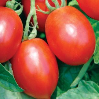 Mochomo F1 Hybrid Saladette Tomato