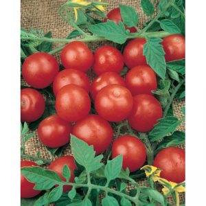 33665-Tiny-Tim-Tomato