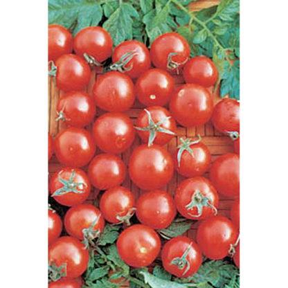 Tiny Tim Cherry Tomato