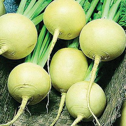 Amber Globe Heirloom Turnip