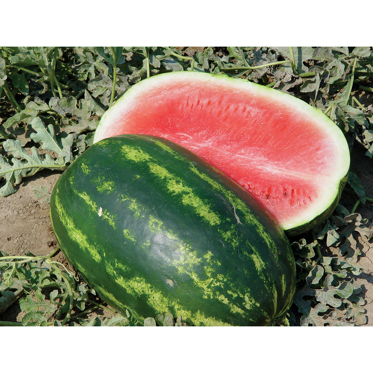 how to grow watermelon from seeds in pots