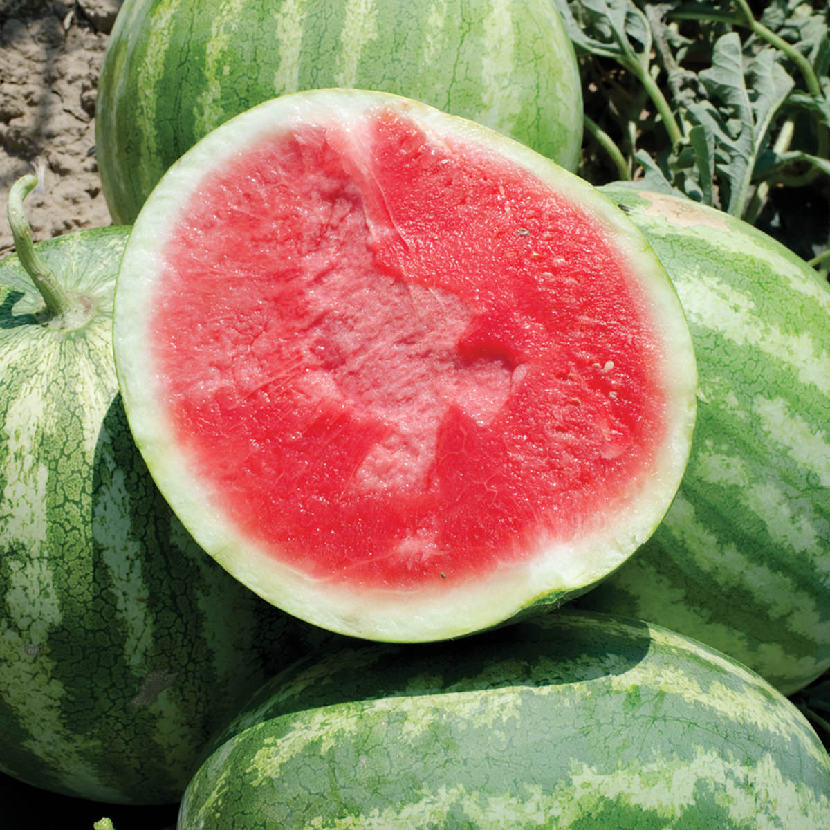 Red Rock F1 Hybrid Seedless Watermelon Seeds - NE Seed