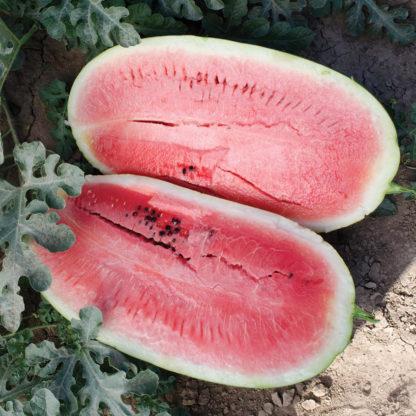 Plantation Pride F1 Hybrid Watermelon