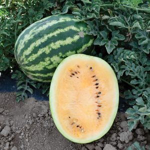 Orange Krush F1 Hybrid Watermelon