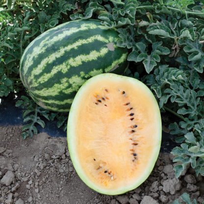 Orange Krush F1 Hybrid Watermelon