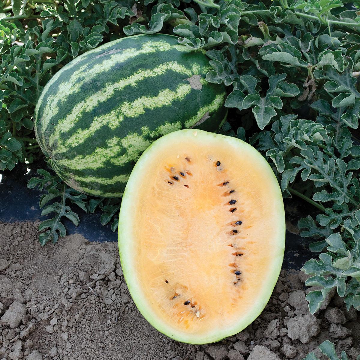 Orange Krush F1 Hybrid Watermelon Seeds - NE Seed