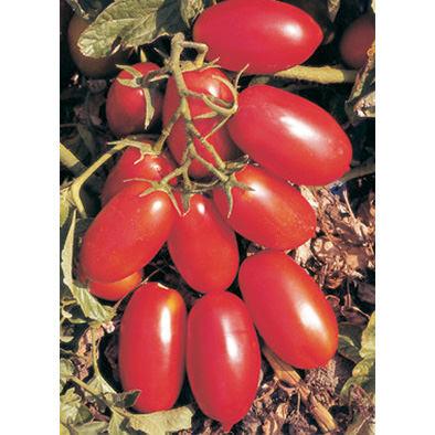 San Marzano Nano Saladette Type Tomato from our Italian Gourmet Seed Collection