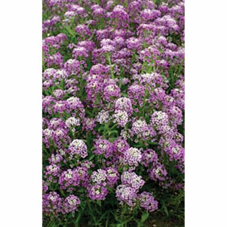 Royal Carpet Annual AlyssumRoyal Carpet Annual Alyssum