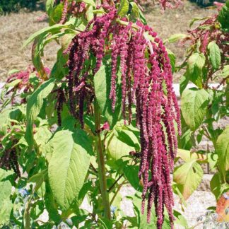 10178 Love Lies Bleeding Amaranth Seeds