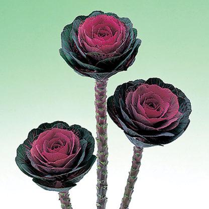 Red Crane Ornamental Flowering Kale