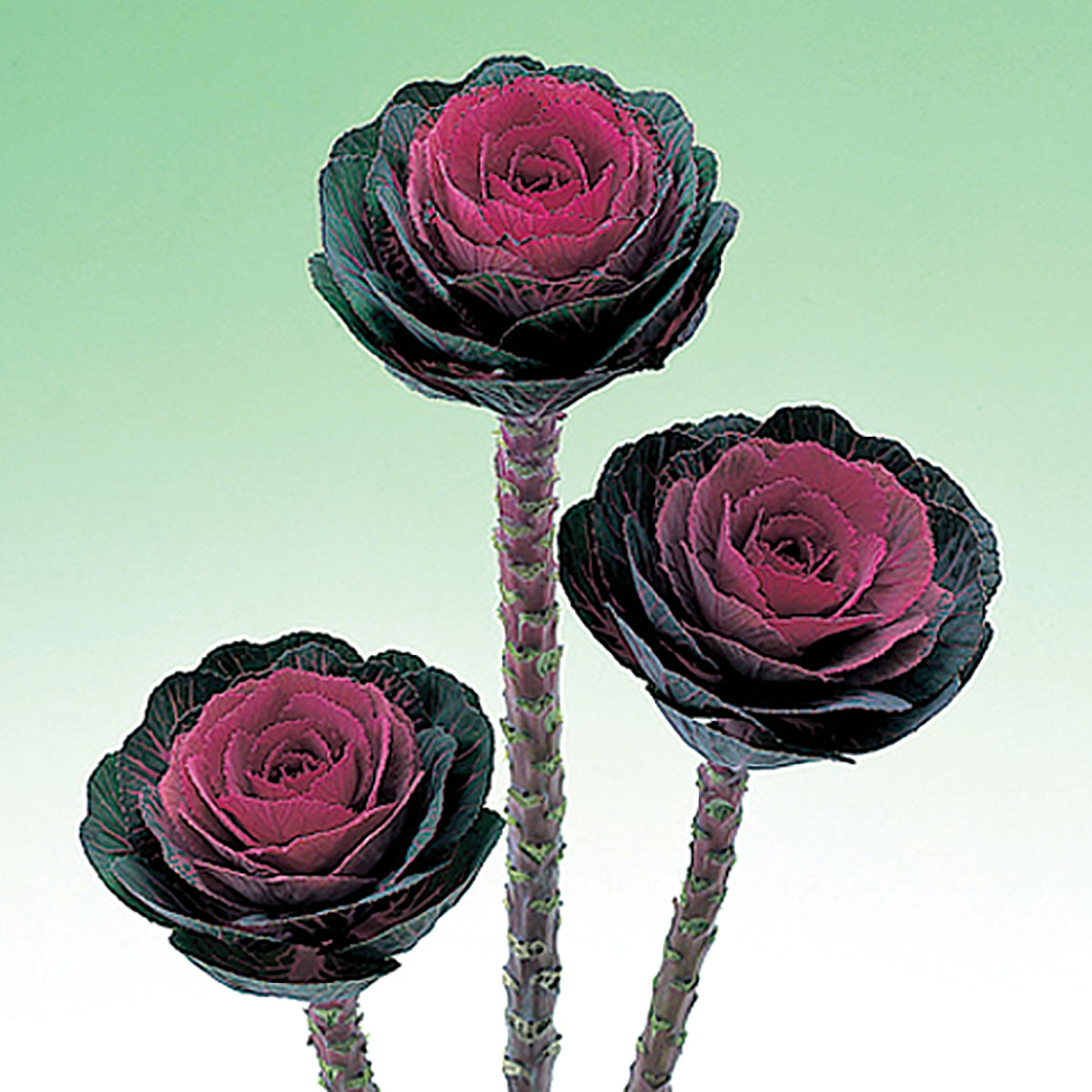 Red Crane Ornamental Flowering Cabbage Kale Seeds Ne Seed
