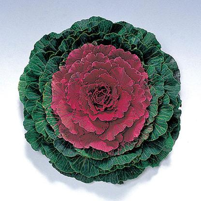 Pigeon Red F1 Hybrid Flowering Kale