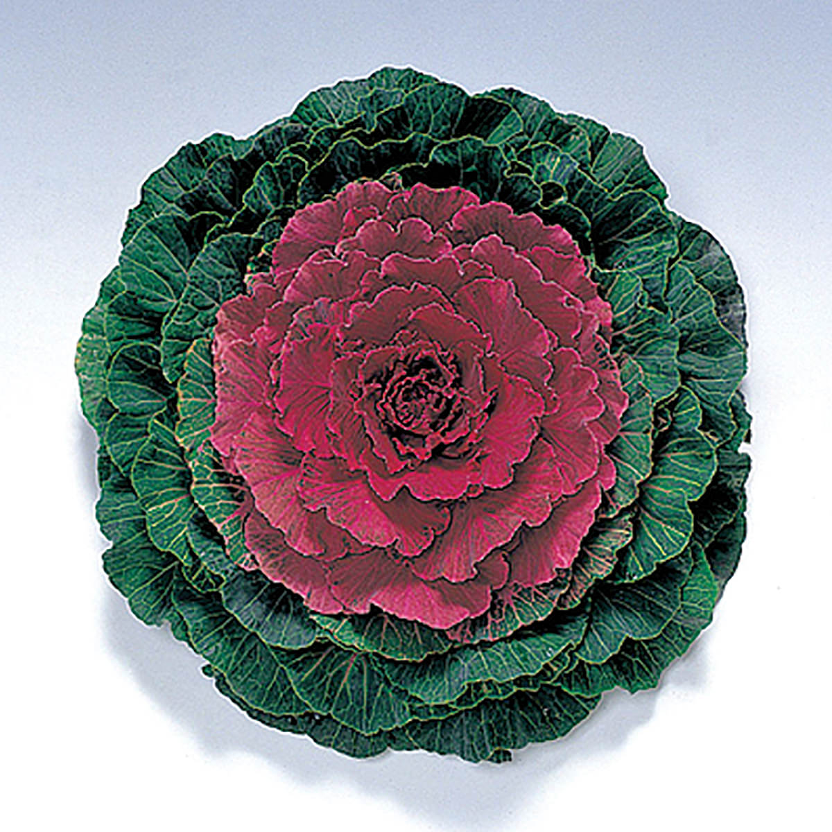 Pigeon Red F1 Hybrid Ornamental Flowering Cabbage Kale