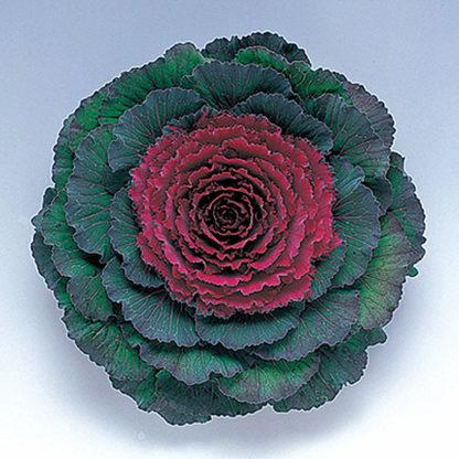 Pigeon Purple F1 Hybrid Flowering Kale