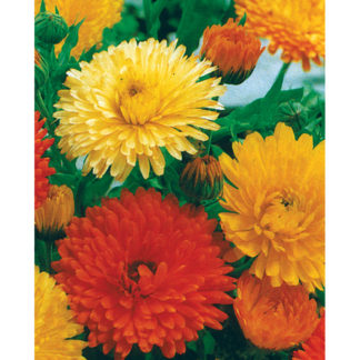 Pacific Beauty Mix Calendula