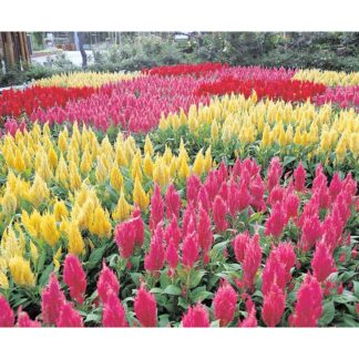 Castle Mix Celosia
