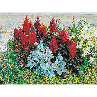 New Look Plumed Celosia