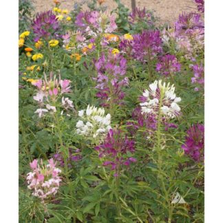 Queen Mix Cleome Seeds