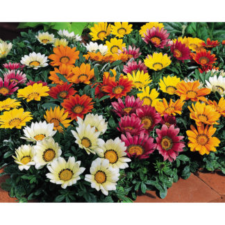Kiss Mix F1 Hybrid Gazania