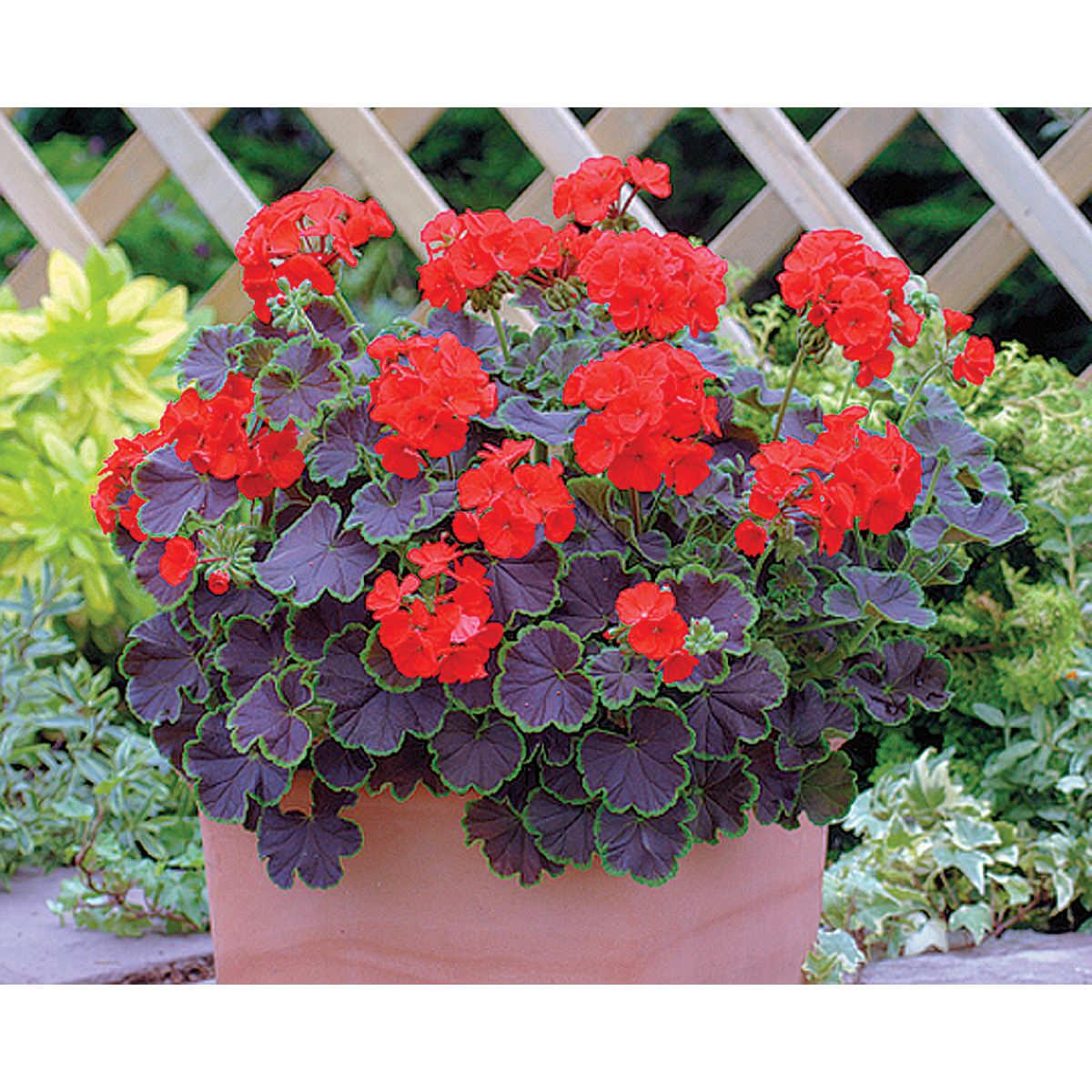 Black Velvet F1 Hybrid Scarlet Geranium Seeds Ne Seed