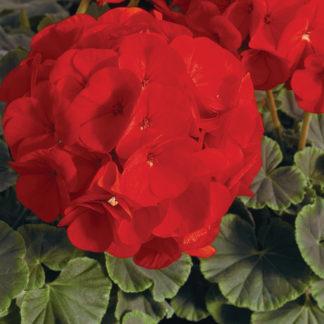 BullsEye Scarlet Geranium
