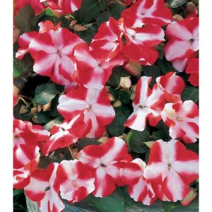 12930-Red-Star-Accent-Impatiens