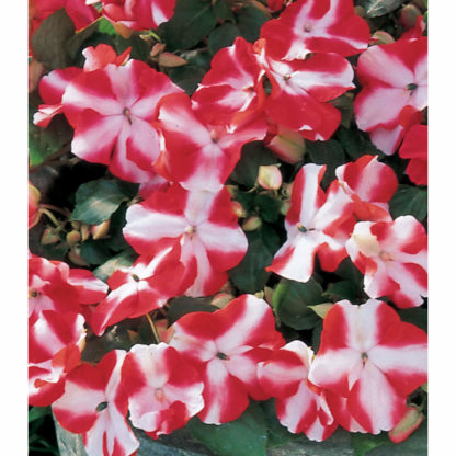 Accent Hybrid Red Star Impatiens