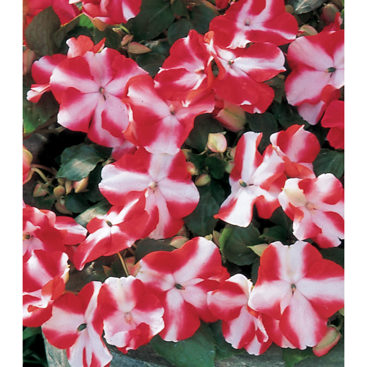 Accent Hybrid Red Star Impatiens Seeds Ne Seed