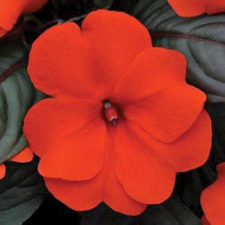 Divine Orange Hybrid Impatiens