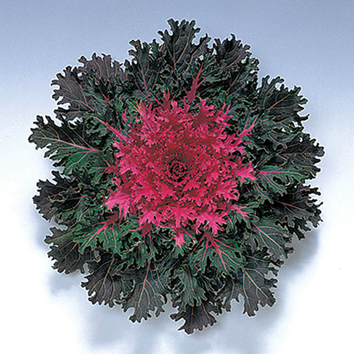 Coral Queen F1 Hybrid Ornamental Flowering Cabbage Kale Seeds Ne