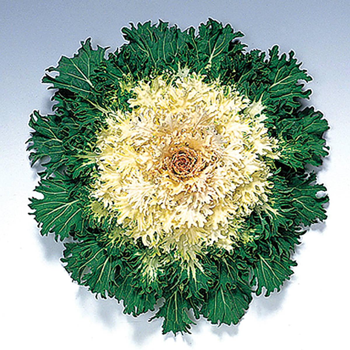 Coral Prince F1 Hybrid Ornamental Flowering Cabbage Kale Seeds