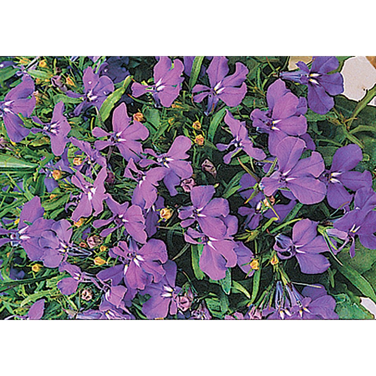 Cobalt Blue Lobelia Seeds Ne Seed