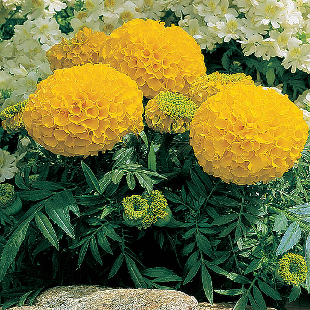 Каталог цветов для открытого грунта