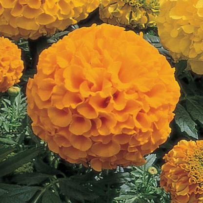 Antigua Gold Hybrid Marigold