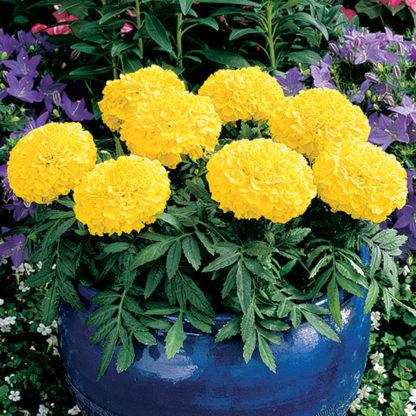 Antigua Yellow Hybrid Marigold
