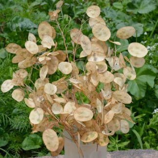 Honesty Lunaria annua Seeds